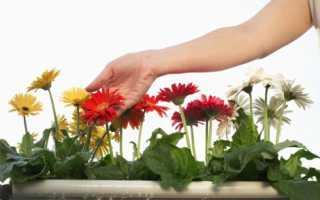 Уход в домашних условиях за комнатной герберой: что делать после покупки, как правильно поливать