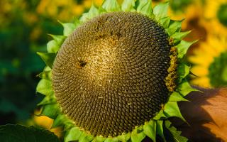 Семена Пионер (подсолнух, подсолнечник): описание, характеристика