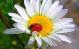 Клематисы – правила посадки, ухода и выращивания