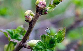Сорта смородины устойчивые к почковому клещу: список