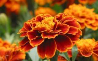 Почему не цветут бархатцы: что делать плохо цветут бархатцы