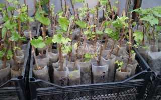 Виноград из черенков посадка и уход