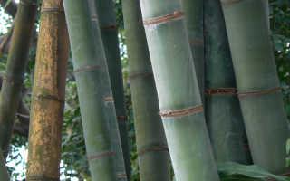 Скорость роста бамбука: как растет бамбук в природе