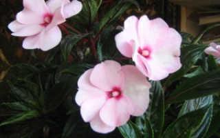 Импатиенс: фото, виды и способы ухода за цветком