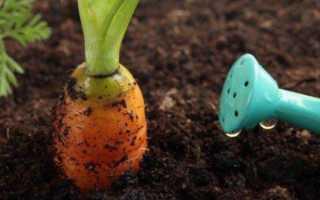 что делать не всходит морковь и как часто поливать морковь после посадки