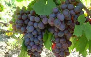 Виноград Русский ранний: характеристика, описание сорта, правила выращивания, отзывы