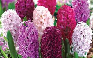 Гиацинт: интересные факты, сорта и выращивание растений (95 фото)