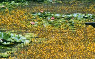 Описание пузырчатки, фото цветка