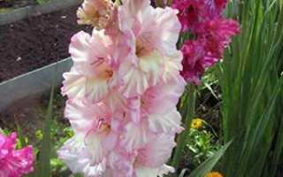 Гладиолусы после цветения, что делать и как подготовить луковицы к хранению