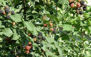 Ежевика садовая Торнфри: описание сорта, посадка и уход, отзывы, фото