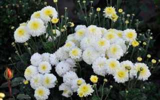 Как посадить и ухаживать за корейской хризантемой в саду