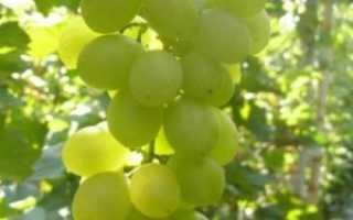 Виноград Плевен мускатный: описание сорта, фото