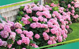 Агротехника выращивания капусты белокочанной: высадка, уход, уборка
