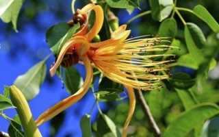 Пахира акватика (Водная): уход в домашних условиях, фото, почему у цветка желтеют листья