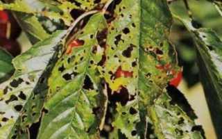 9 болезней вишни: коккомикоз, кластероспориоз, антракноз, монилиоз и другие