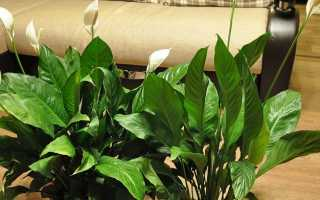 Спатифиллум: описание, уход и выращивание в домашних условиях