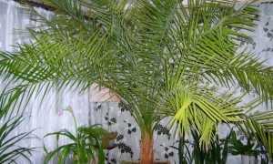 Удобрение для пальмы в домашних условиях, чем и как подкармливать?