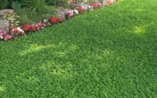 Клеверный газон: выбор сорта, когда сеять, как ухаживать
