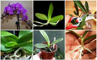 Размножение орхидеи Фаленопсис черенками в домашних условиях: преимущества и недостатки способа