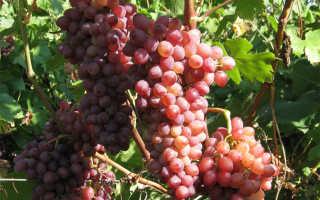 Виноград Кишмиш Лучистый: описание сорта, фото, отзывы