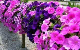 Выращивание петунии: можно ли разводить ее как комнатное растение, как правильно это делать в домашних условиях