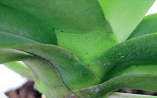 Паутинный клещ на орхидее: распознаем и уничтожаем