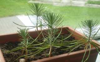 Как вырастить ель из семян в домашних условиях