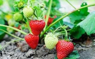 Болезни клубники и садовой земляники: фото, видео и их лечение, какими средствами осуществляется обработка