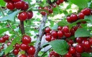 Вредители и болезни войлочных вишен