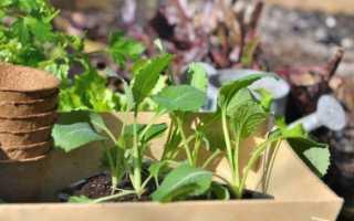 Посев капусты на рассаду: когда и как сажать
