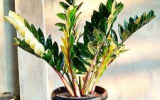 Долларовое дерево – уход за цветком в домашних условиях, фото