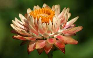 Гелихризум посадка и уход в открытом грунте, фото цветов