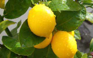 Лимон Мейера: уход в домашних условиях, описание сорта