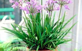 Агапантус: фото, виды, посадка и уход за цветком