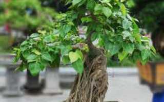 Фикус Священный (Религиозный): описание, условия и правила выращивания, поливы, подкормки