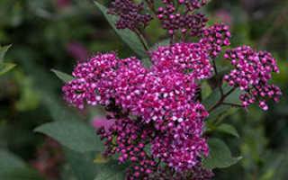 Спирея японская посадка и уход фото, размножение и выращивание сорта, удобрения и подкормка