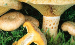 Условно-съедобный гриб млечник: фото и описание млечника обыкновенного, блеклого и оранжевого
