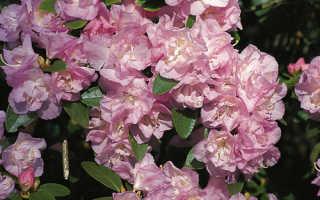 Рододендрон даурский (багульник) – где купить, сорта, посадка и уход