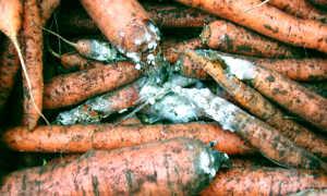 Самые опасные болезни моркови: профилактика, признаки и лечение