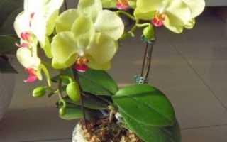 Орхидея фаленопсис: описание, родина, страна происхождения