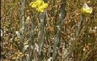 Бессмертник песчаный (цмин): фото, описание дикорастущего растения и применение травы в медицине