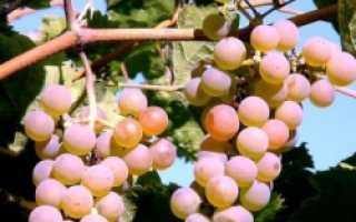 Как посадить виноград саженцами весной: практические советы