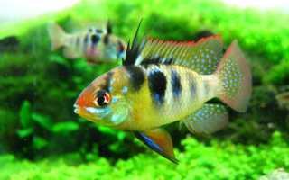 Апистограмма рамирези (хромис бабочка): содержание аквариумной рыбки, разведение, виды цихлиды