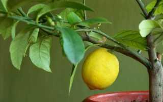 Почему не цветет лимон в домашних условиях, как заставить цвести