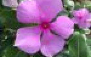Барвинок – посадка и уход в открытом грунте: правила выращивания