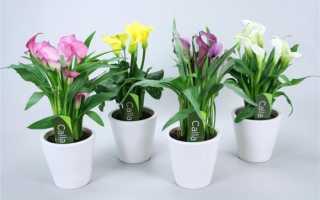 Зантедеския (калла): уход в домашних условиях в период цветения и покоя, особенности выращивания, пересадки и подкормки