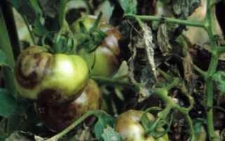Болезни томатов: фото и их лечение (в теплице и открытом грунте)