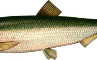 Рыба салака: полезные свойства и противопоказания для здоровья