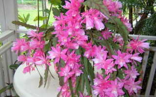 Цветок эпифиллум фото Уход в домашних условиях Размножение черенками Болезни