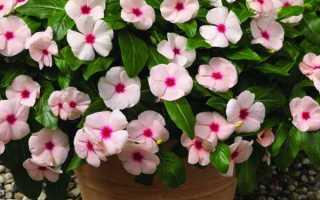 Бальзамин комнатный (30 фото): уход в домашних условиях, махровый, белый цветок, растения в горшке, как размножается